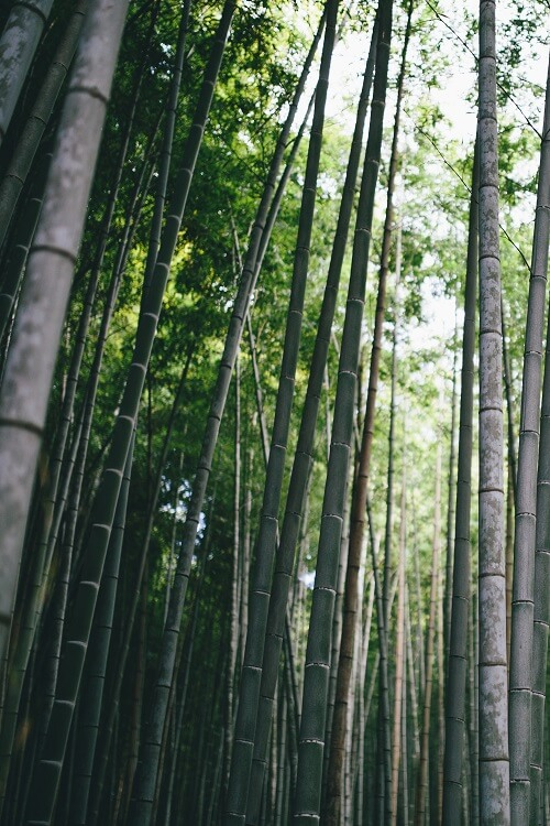 3 year old bamboo forest